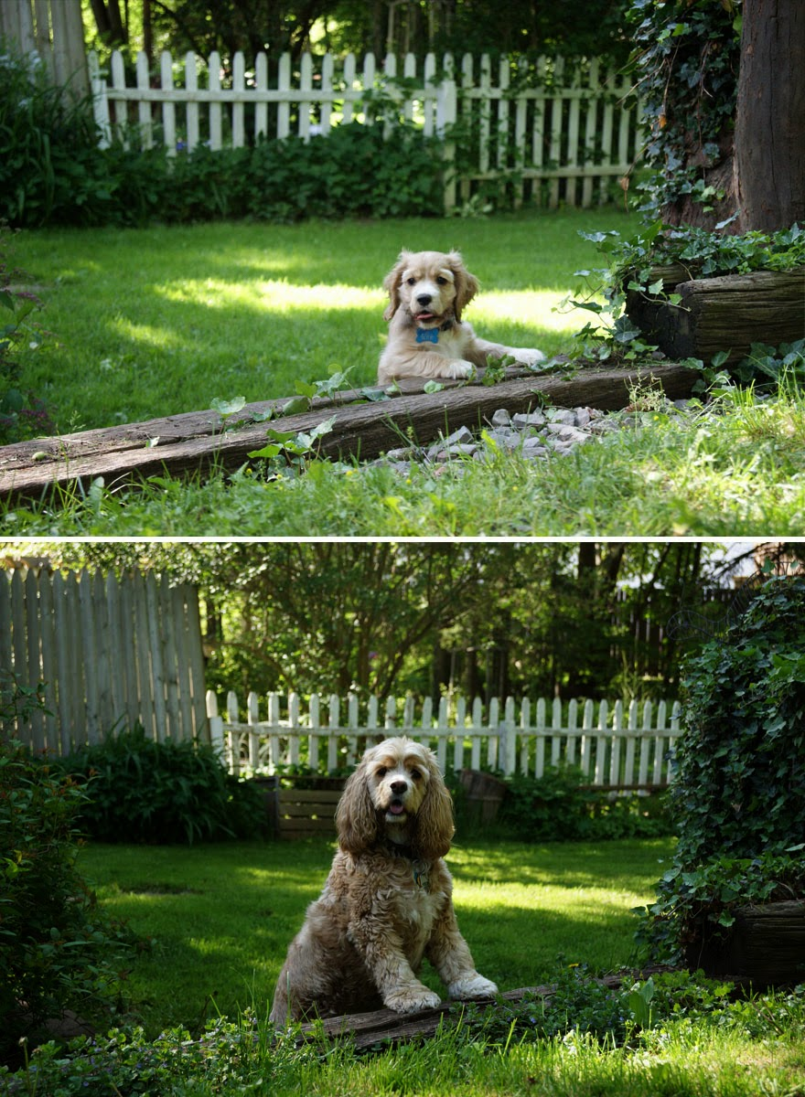 dogs-before-and-after (5)
